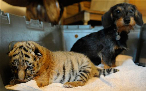 baby tiger and dachshund